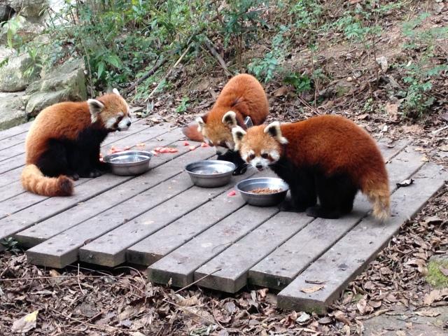 Pandas rouges