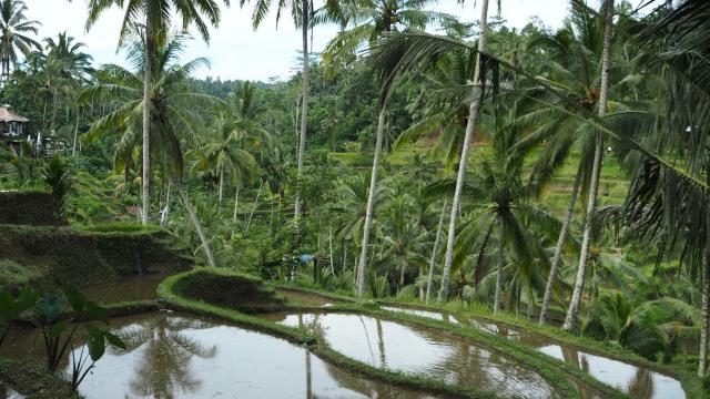 Riziières à Ubud